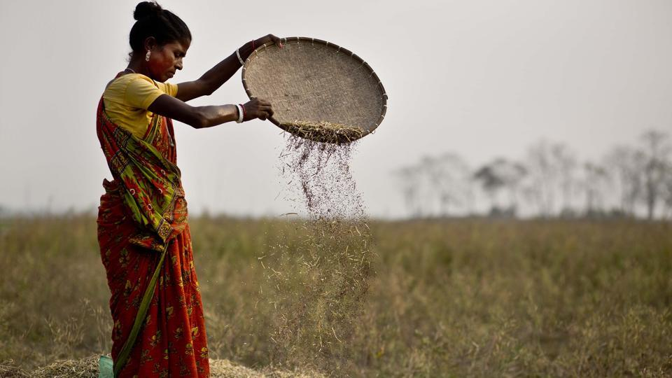 An Indian woman separates mustard seeds from the husk in a paddy field in Roja Mayong village, east of Guwahati on Feb 1.