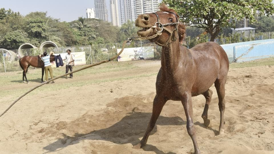 A horse seems to be having fun during its exercise regimen. (Anshuman Poyrekar/HT PHOTO)
