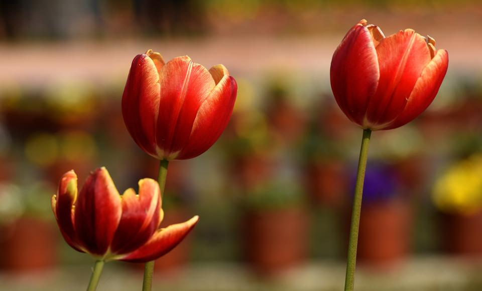 'Tulips' and 'Cyclamen' valued for their splendid colors are also important attractions of the Mughal Garden. (Sonu Mehta/HT PHOTO)
