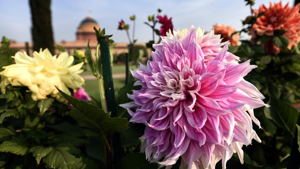 Dahlia flower. The Circular Garden contains 30 varieties of seasonal flowers including Dahlias which are around 8 feet high and go along the circular wall of the Garden. (Sonu Mehta/HT PHOTO)