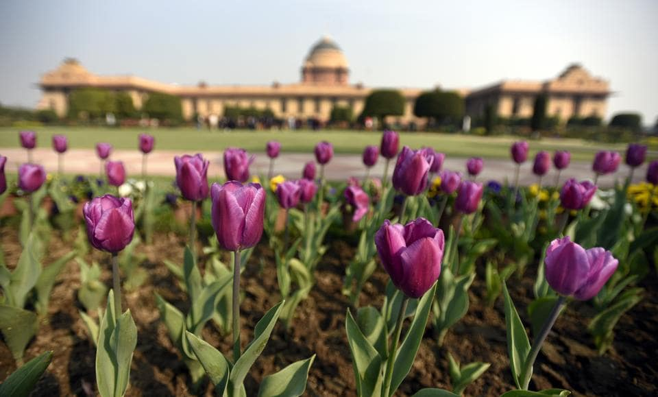 Tulips on display. If the Rashtrapati Bhavan is a masterpiece of architecture, the 15-acre Mughal Garden is considered its soul. (Sonu Mehta/HT PHOTO)