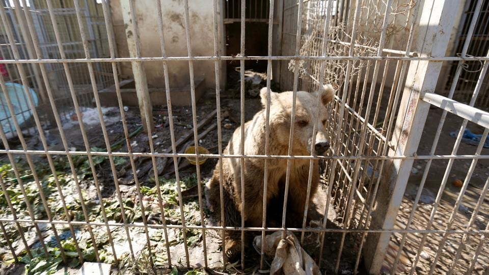 A bear in a cage of Nour Park at Mosul's zoo. When the military advanced into Mosul, the Nour Park, which had been home to a range of animals from monkeys to horses, was transformed into an Islamic State staging ground for attacks on Iraqi troops. (Reuters photo)