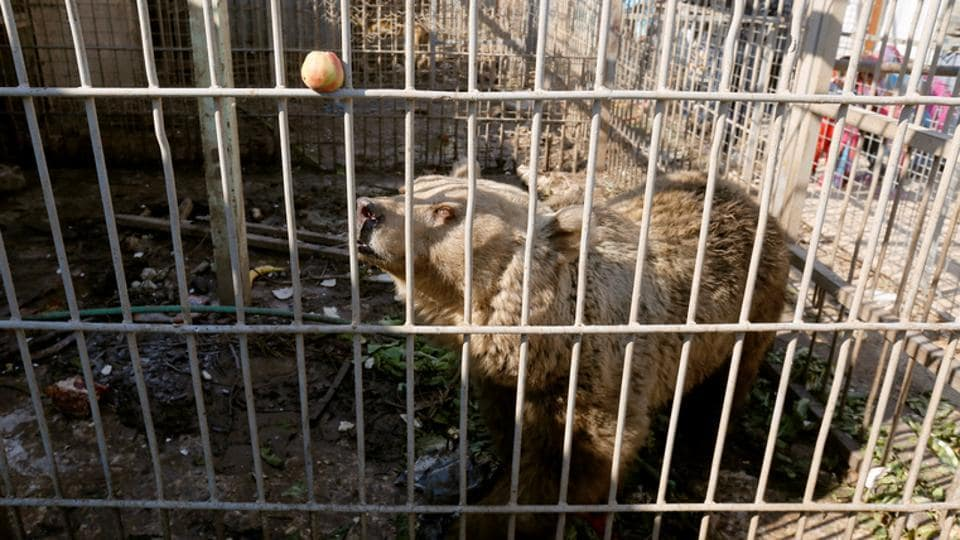 A bear in a cage at Nour Park at Mosul's zoo. (REUTERS photo)