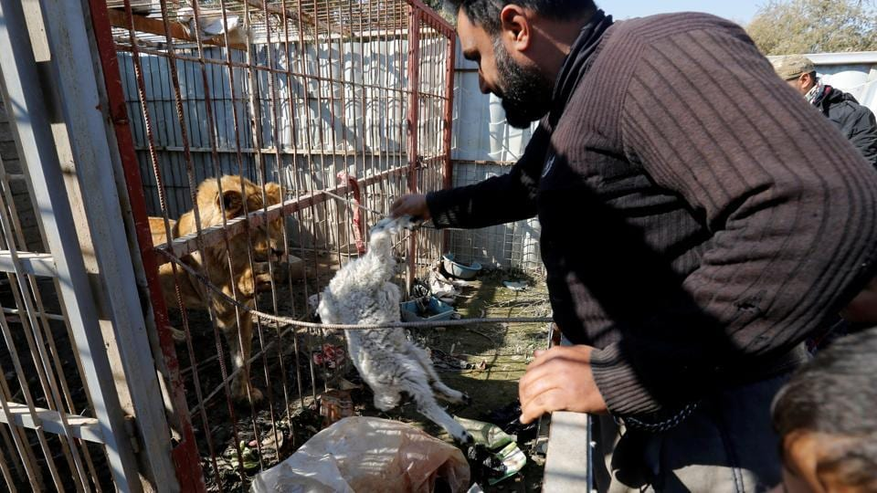 A volunteer feeds a lion at Nour Park in Mosul's zoo. Saif al-Bassef, a volunteer sent by the Kurdistan Organisation for Animal Rights, brought the first substantial food for a month. (REUTERS photo)