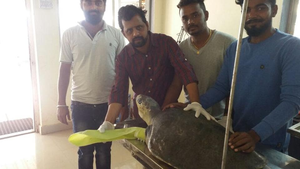 Dr Dinesh Vihnerkar (second from left) shows the fiberglass flipper attached to an Olive Ridley turtle.