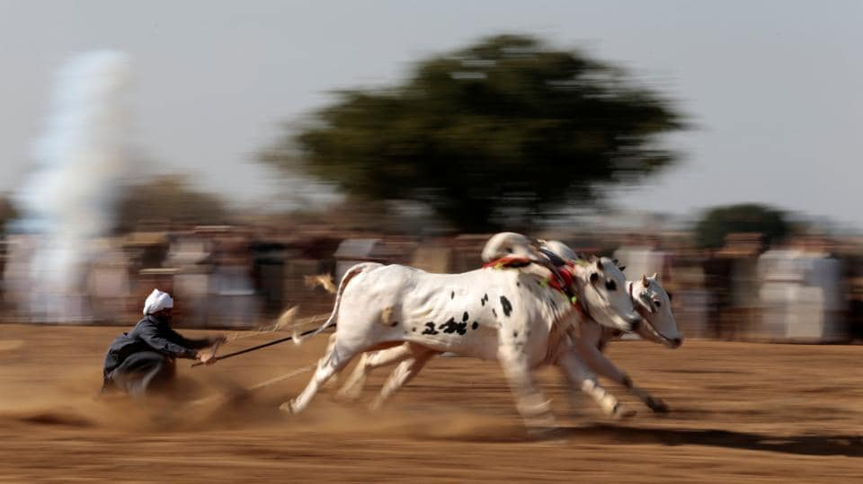 A bull savar (jockey) guides his bulls as he competes in a race in Pind Sultani, Pakistan.   (Caren Firouz  / REUTERS)