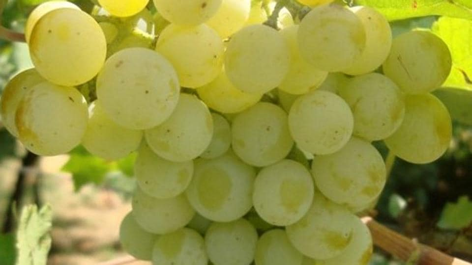 Grapes,Benefits of grapes,Eating grapes