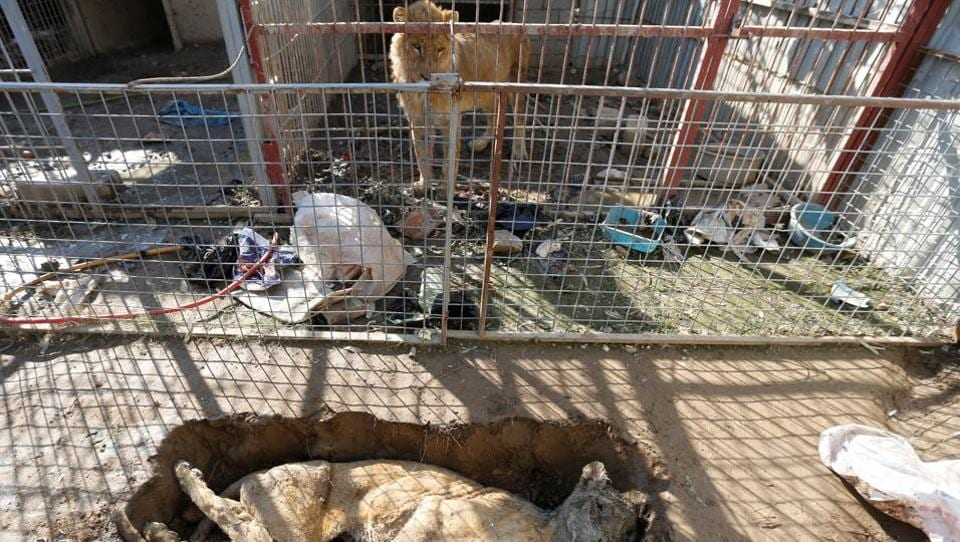 A lion in its cage looks at a lioness who starved to death in Mosul's zoo, Iraq.   (Muhammad Hamed  / REUTERS)