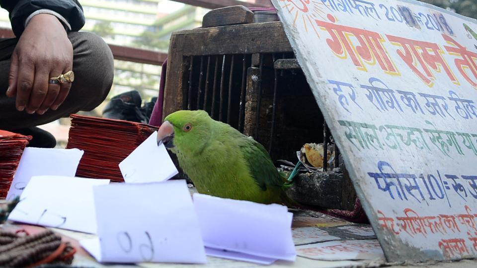 Fortune-telling parrot Ganga Ram at work in Shimla.