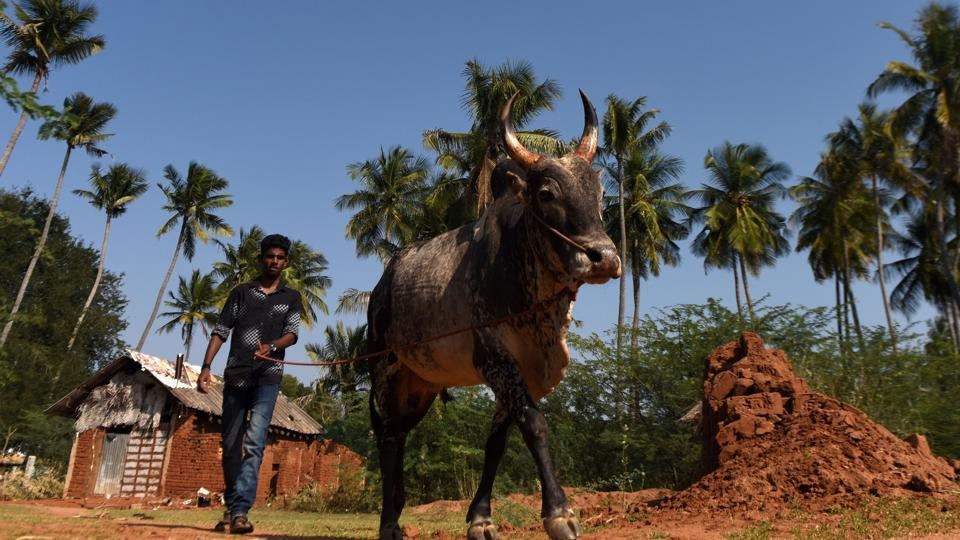 Hosting the event after a gap of three years, Alanganallur in Madurai district is famous for Jallikattu and used to attract a large number of spectators, including foreign tourists. (ARUN SANKAR / AFP)