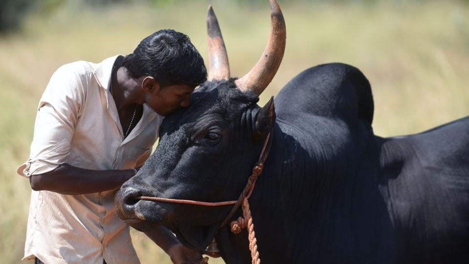 A bull is kissed by its owner .  (ARUN SANKAR / AFP)