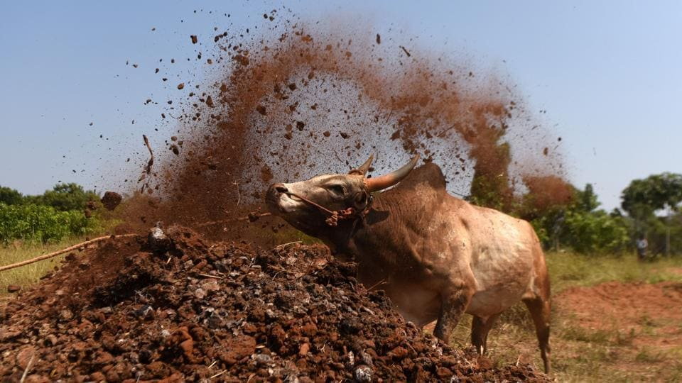 A bull is trained by its owner ahead of the Jallikattu bull taming event, in the south Indian city of Madurai on February 7, 2017. Week-long protests in January in Chennai prompted the Tamil Nadu assembly to unanimously pass an amendment bill on January 23, clearing the way for conducting the bull taming ritual. Residents of the southern state of Tamil Nadu maintained that the Jallikattu festival was a crucial part of their culture.  (ARUN SANKAR / AFP)