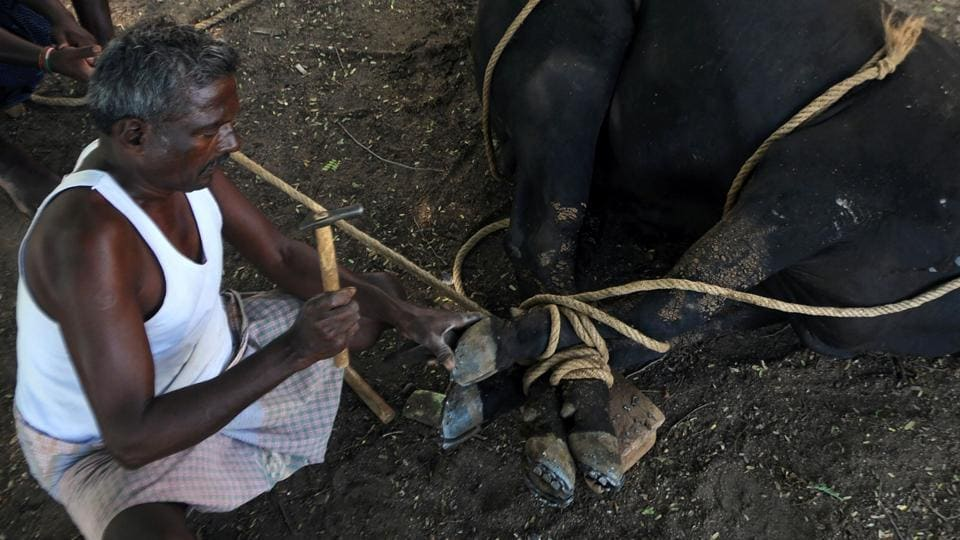 A blacksmith puts a metal shoe on a bull's hoof.  Normally, Jallikattu is held as part of the Pongal festivities in Tamil Nadu. However, it was not held during Pongal this year due to a Supreme Court ban. (ARUN SANKAR / AFP)