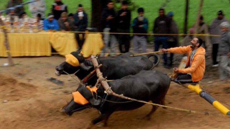 Karanataka,Kambala,Buffalo race Karnataka