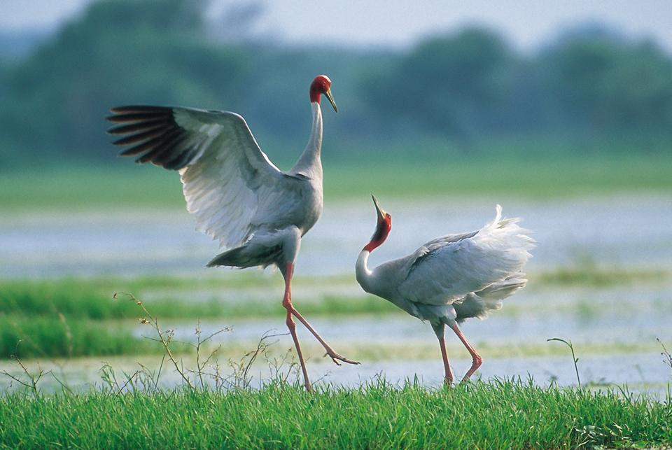 The Sarus Crane, mostly monogamous, trumpets, prances, and even yanks off vegetation in the air in a frenzied, lovesick display.