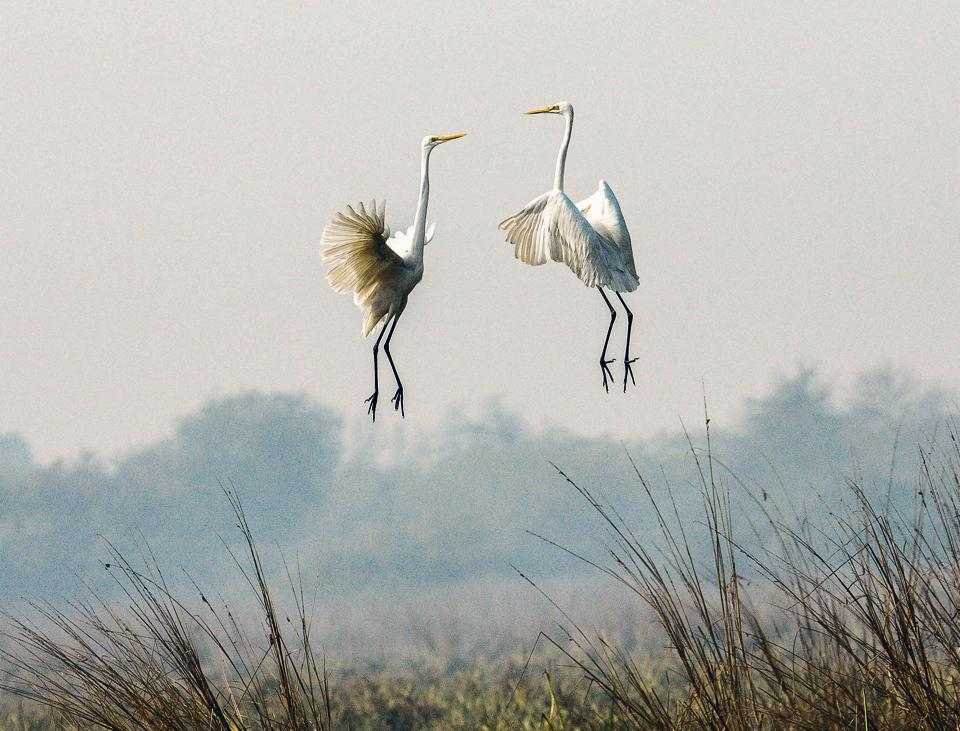 Great egrets face off like gladiators in the air during a territorial fight.