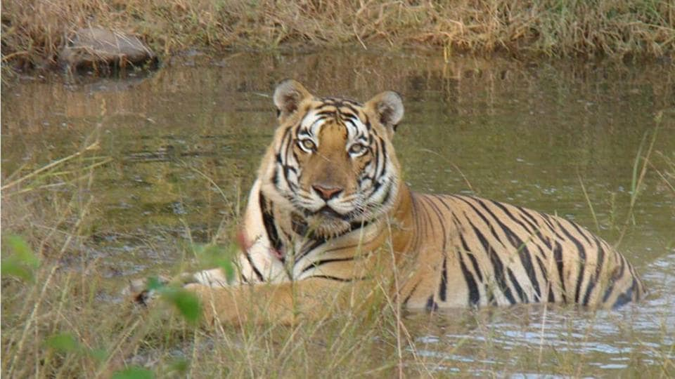 About 50 projects in and around India's critical tiger and wildlife habitats have been approved nod at a meeting of the standing committee of the national board for wildlife.