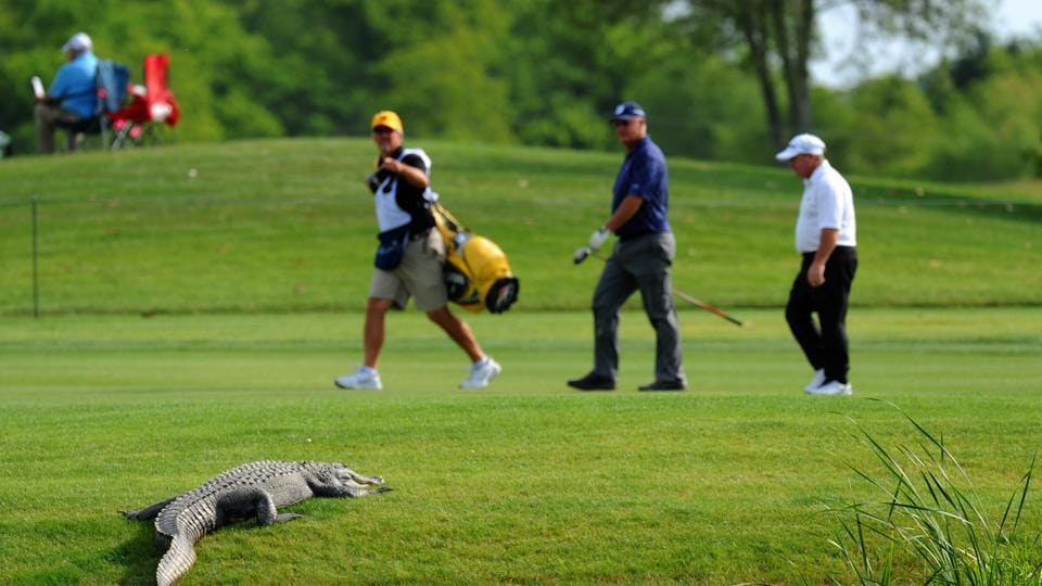 The alligator grabbed Tony Aarts by his right ankle and he rolled into the nearby water hazard as they struggled. (Image for representation only)