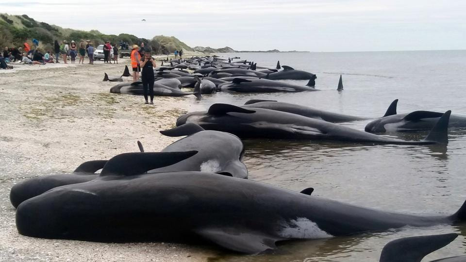 Whales stranded at Farewell Spit near Nelson, New Zealand.