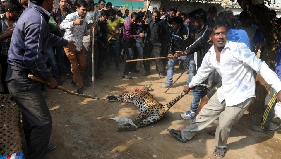 On November 24, 2016, a leopard was beaten to death by villagers of Mandawar in the presence of wildlife and police officers after a hunt spanning over three hours.