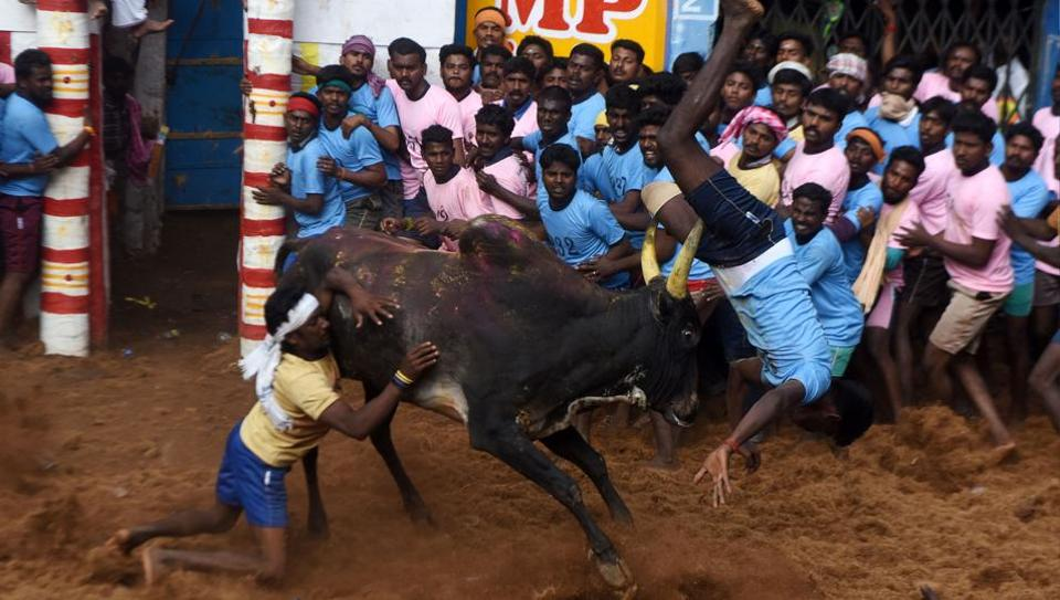A bull flips a man as people watch during an annual bull taming event 'Jallikattu' in the village of Allanganallur on the outskirts of Madurai on February 10, 2017.