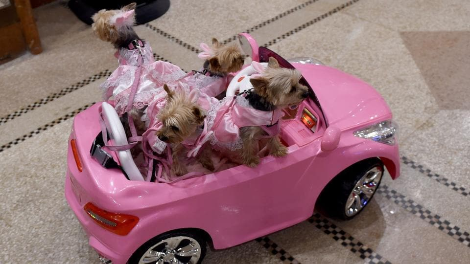 Yorkies in a remote controlled mini pink convertible arrive for the 14th Annual New York Pet Fashion Show at the Hotel Pennsylvania on February 9 (TIMOTHY A. CLARY / AFP)