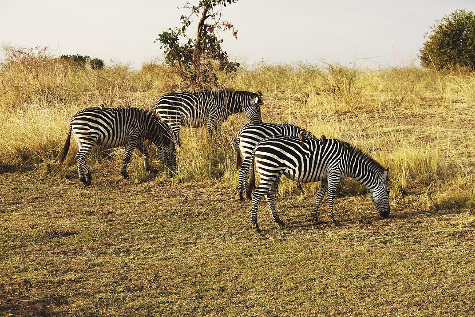zambia,south luangwa national park,thornicroft giraffes