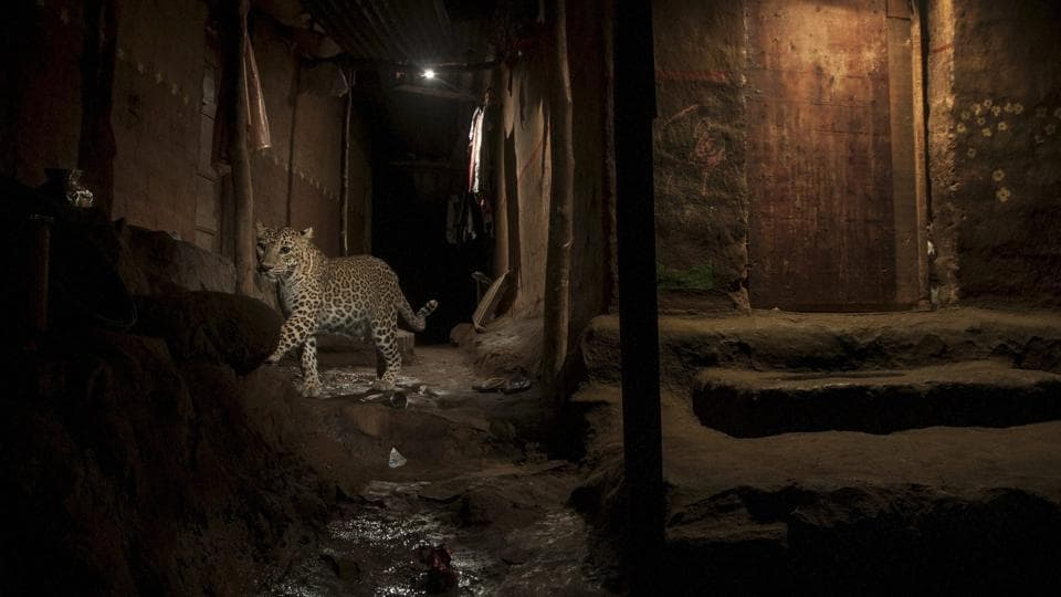 Nature,  second prize: A leopard living in the Sanjay Gandhi National park in the centre of one of the biggest metropolis of the world, Mumbai.  (Nayan Khanolkar )