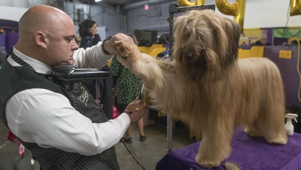 Adriano Rocha grooms XO, a briard, during the 141st Westminster Kennel Club Dog Show in New York.The Westminster Kennel Club Dog Show is an annual competition featuring nearly 3,000 dogs who are judged against their own breed's standards. (AP Photo)