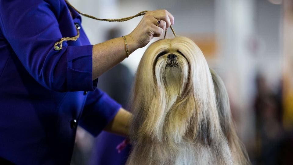 A Lhasa Apso competes at the 141st Westminster Kennel Club Dog Show. (AFP Photo)