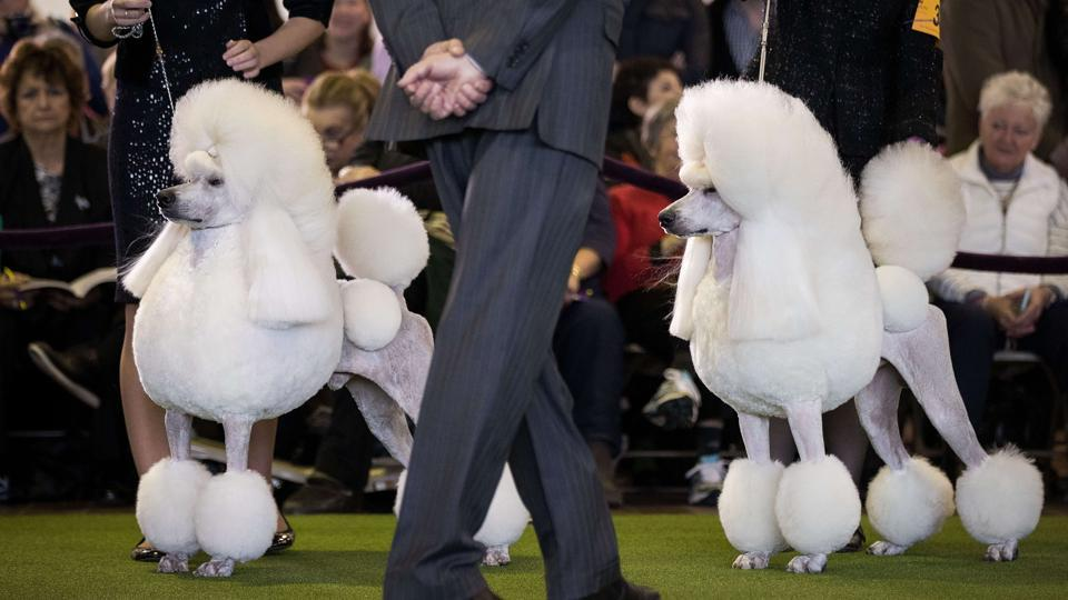 Standard Poodles are judged during a competition at the 141st Westminster Kennel Club Dog Show. (AFP Photo)
