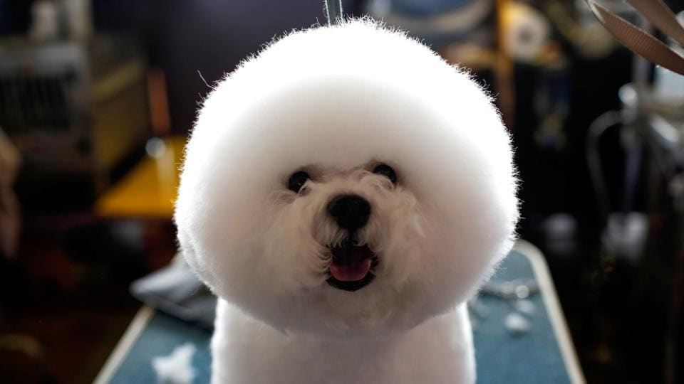 A Bichon Frise stands on a grooming table in the benching area. (Reuters Photo)