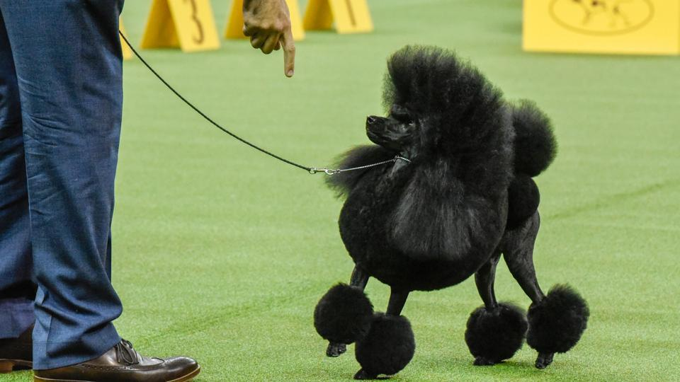 Aftin, a Miniature Poodle, wins the Non-Sporting group at the 141st Westminster Kennel Club Dog Show, in New York City. (Reuters Photo)