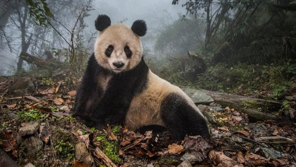 Nature, second prize: A 16-year-old giant panda lounges in a massive wild enclosure at a conservation center in Wolong Nature Reserve.  (Ami Vitale for National Geographic Magazine)