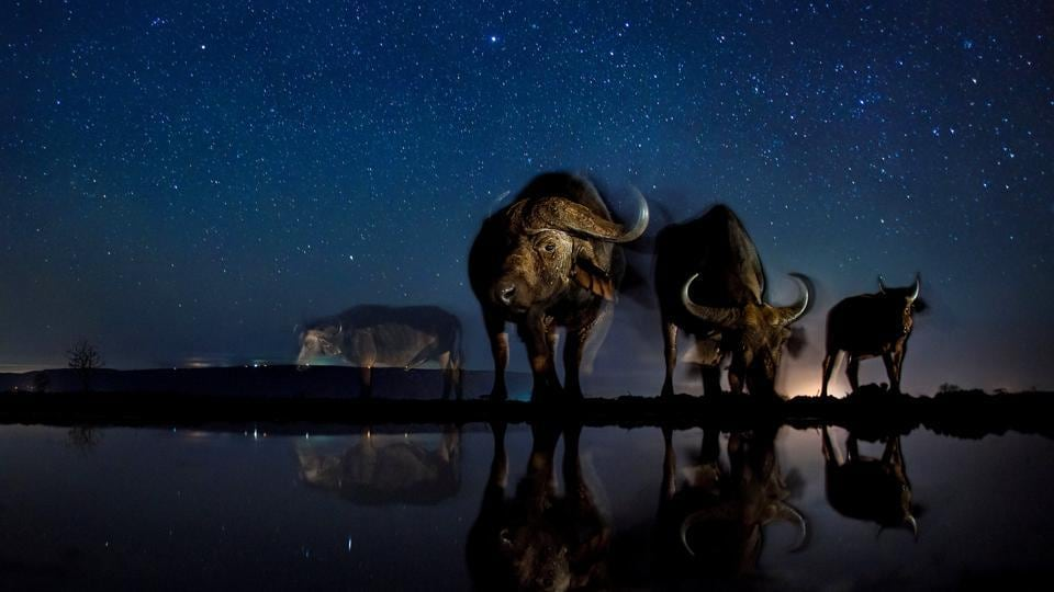 Nature, third prize: Buffalos at the drinking station. The photo combines a well-known natural phenomenon: The starry sky and portraits of wild animals not visible to the naked eye. The series needed very accurate planning, research and preparation as the photos were made with remote control, and no modification was possible while capturing the photos.  (Bence Mate)