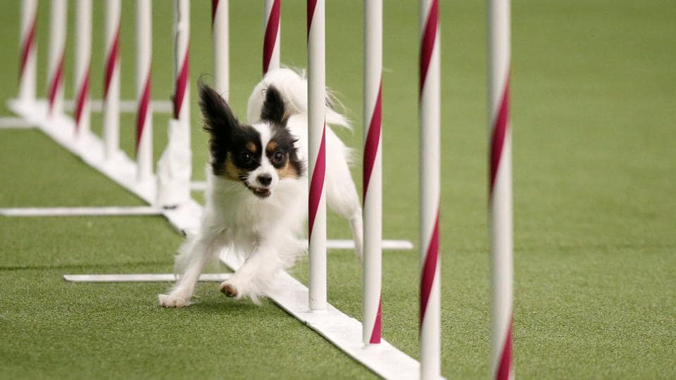 Sparkle, a Papillon, competes in the Masters Agility Championship Finals competition. (Reuters Photo)