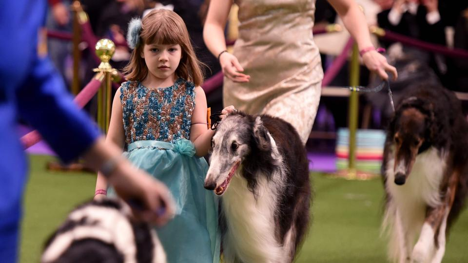 A seven year-old walks with her Borzois in the judging arena at the Westminster Kennel Club's 141st Annual Dog Show.  (AFP Photo)