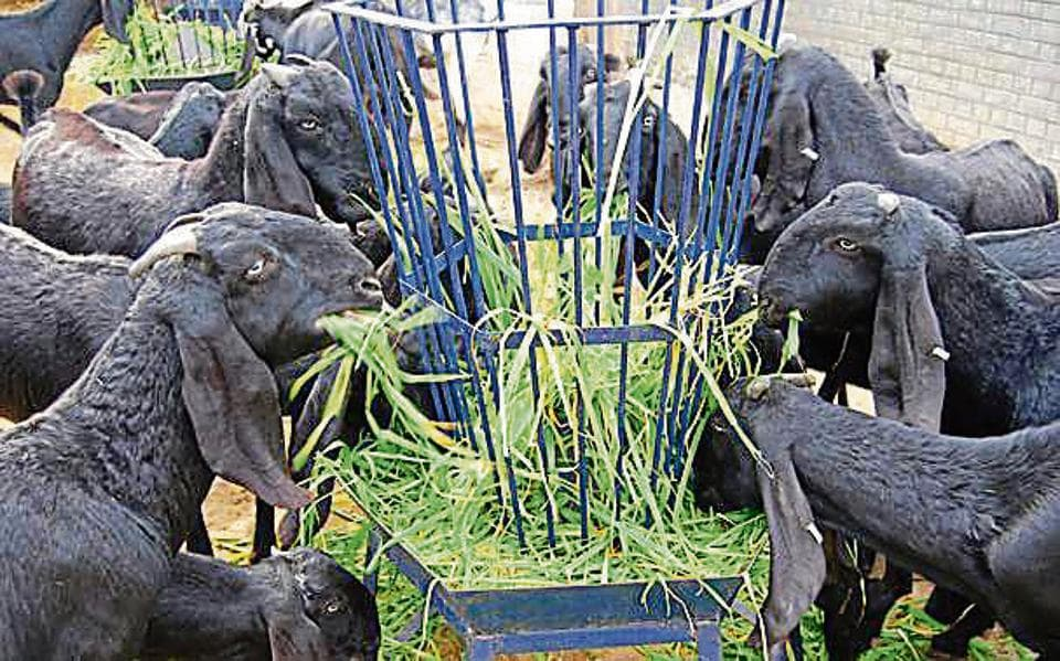 Beetal, popularly called Amritsari, is the native goat breed of Punjab which is good for both milk and meat products.