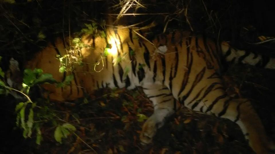 The carcass of one of the two tigers found inside Corbett Tiger  Reserve.