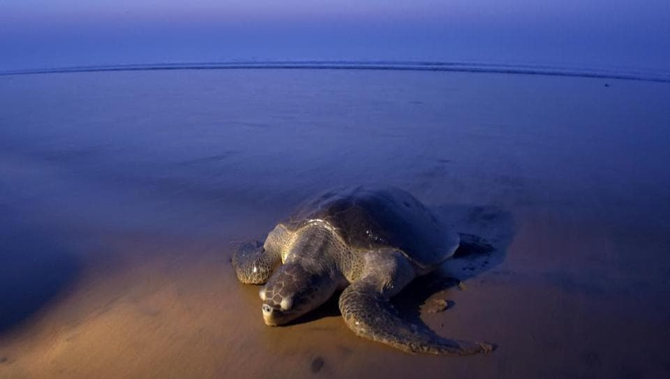 An Olive Ridley turtle arrives to lay her eggs on the sand at Rushikulya Beach, some 140 kilometres  south-west of Bhubaneswar. Thousands of Olive Ridley sea turtles started to move ashore from India's Bay of Bengal to lay their eggs in narrow beaches.   (ASIT KUMAR / AFP)