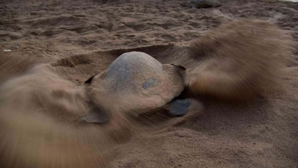 A turtle digs a hollow in the sand as she prepares to lay her eggs at Rushikulya Beach. Also known as the Pacific Ridley sea turtle, or by its Latin name, Lepidochelys Olivacea, these  turtles are best known for their behaviour of synchronised nesting in great numbers.  (ASIT KUMAR / AFP)