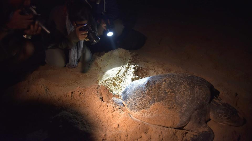 Tourists take photographs of an Olive Ridley turtle. Turtle enthusiasts visit the beach to take a close look at the entire cycle of turtles arriving, laying eggs and then leaving.   (ASIT KUMAR / AFP)