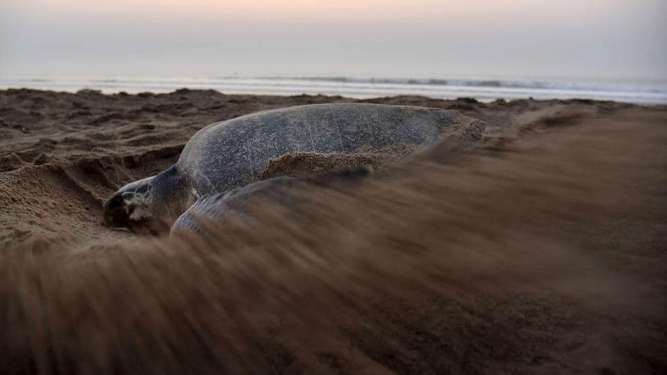 Despite being one of the most abundant species of turtles, the Olive Ridley turtles are still listed as endangered due to the continual threat to their existence.  (ASIT KUMAR / AFP)