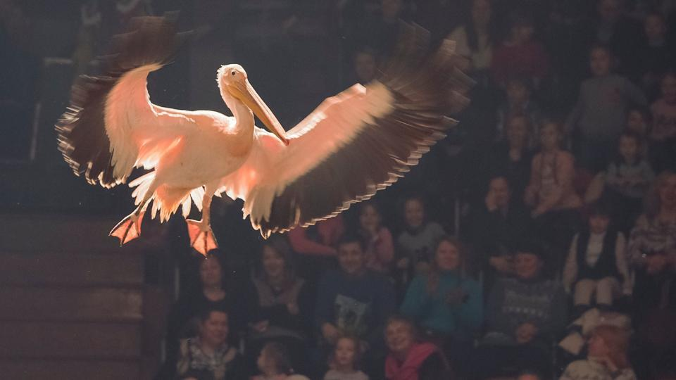 A pelican performs during the presentation of the new show