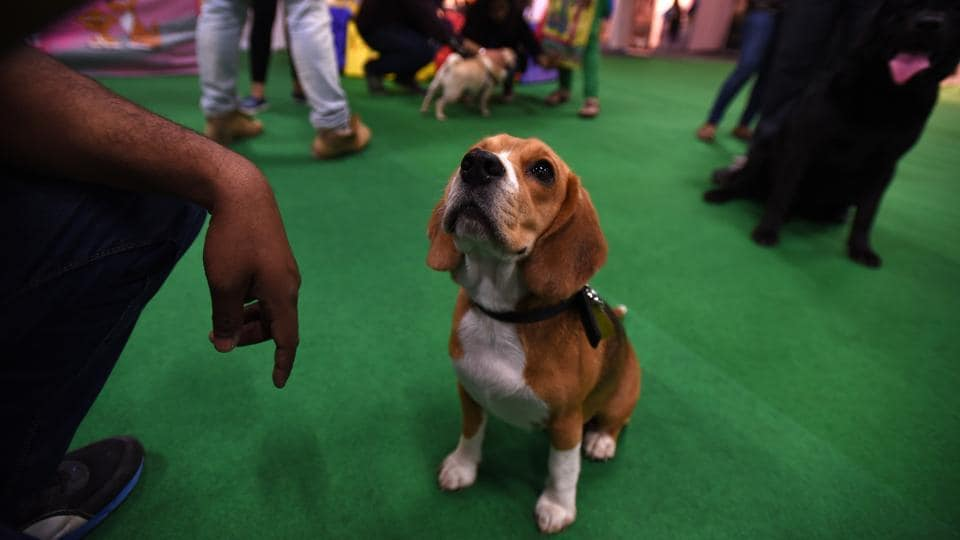 Ellie, the beagle, during the 9th India International Pet Trade Fair in Noida on Friday.