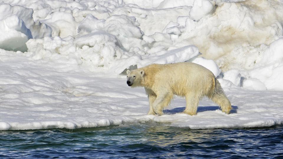 A polar bear in Chukchi Sea of Alaska.