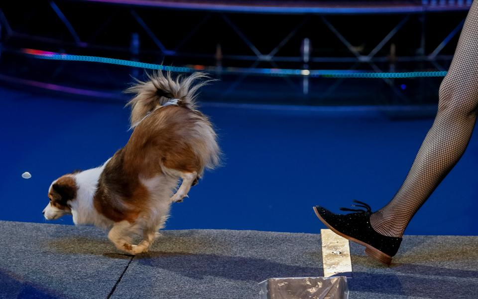 A dog and its tamer perform during the presentation of the new show