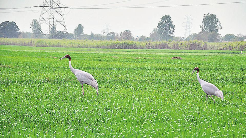 A 50-acre wetland in Greater Noida has emerged as a safe habitat for the sarus crane.