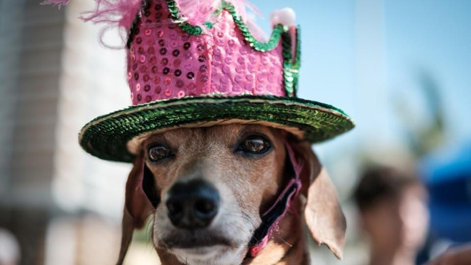 A dog dressed in costume is seen during the Rio Dog Carnival, known as the Blocao – with