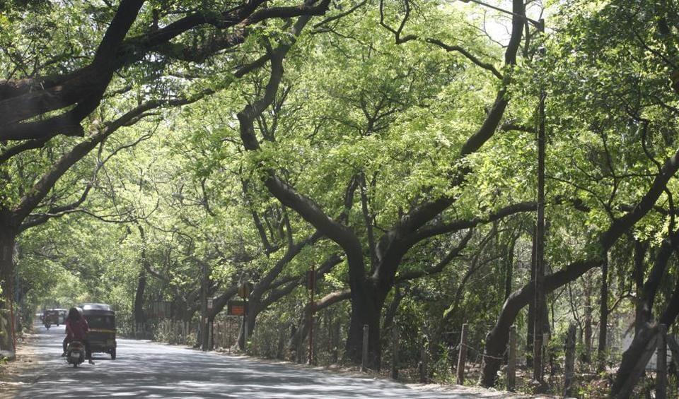 Mumbai, India - April 2, 2015: A stretch of Karanj trees ( Pongamia pinnata ), Summer Spring trees in Aarey Milk Colony, at Goregaon, in Mumbai, India, on Thursday, April 2, 2015. (Photo by Vidya Subramanian/ Hindustan Times)